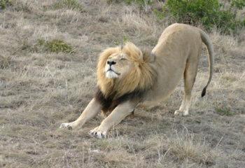 Der Löwe weiß, wie's geht – Übung zur Entspannung und Muskellockerung